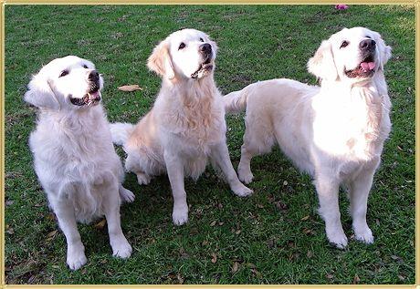 Bozgold Golden Retrievers